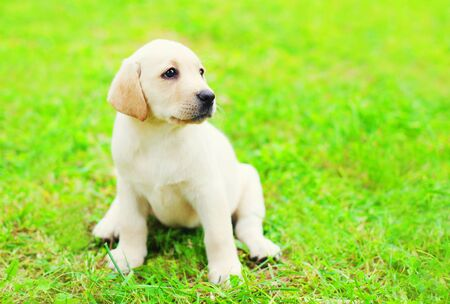 Cute dog puppy Labrador Retriever is sitting on a green grass in profile and looking away Stock Photo