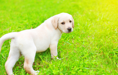Cute dog puppy Labrador Retriever is walking on the grass in sunny summer day