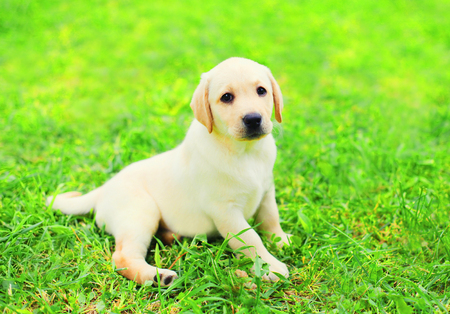 Dog puppy Labrador Retriever is lying resting on the grass in summer day
