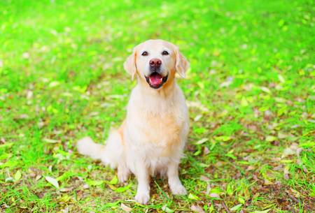Golden Retriever dog is sitting on the grass