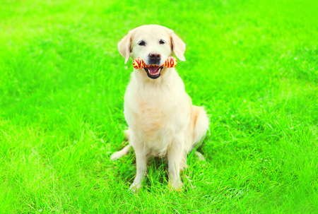 Golden Retriever dog with a rubber bone toy on the grass on a summer day