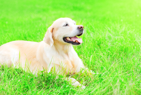 Happy Golden Retriever dog is lying resting on the grass in a sunny summer day