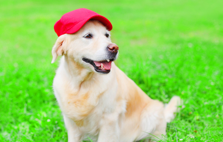 Happy Golden Retriever dog on the grass in a red baseball cap