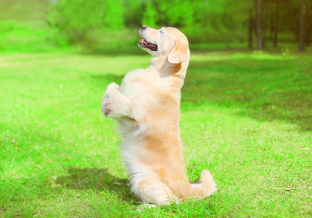 paw smart: Happy Golden Retriever dog on the grass is standing on hind legs, profile side view