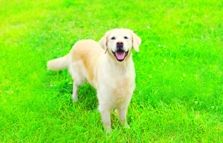 Happy Golden Retriever dog on the grass on a summer day
