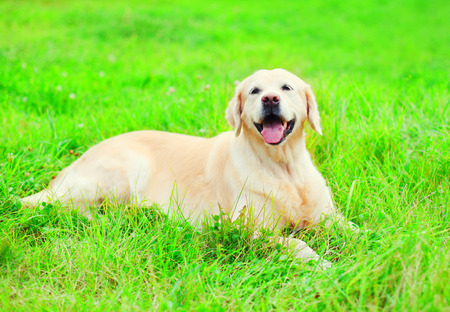 Happy joyful Golden Retriever dog is lying resting on the grass in a sunny summer day