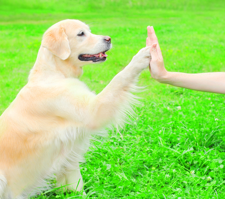 Owner is training Golden Retriever dog on the grass in park, giving paw to hand