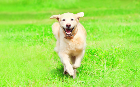 Pretty Golden Retriever dog is running on the grass on a summer day  Stock Photo