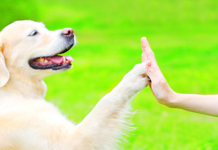 Golden Retriever dog on the grass in park, giving paw to hand