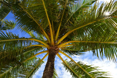 blue green background: Green coconut palm tree leaves with blue sky in background stock photo