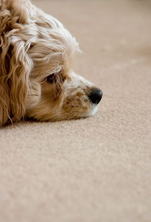 hectic life: Profile of a relaxing dog on a carpet - obviously, he leads a very hectic life. Stock Photo