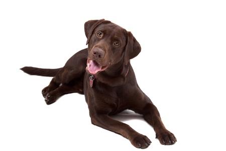 perro labrador: Labrador chocolate retriever cachorro aislados sobre fondo blanco