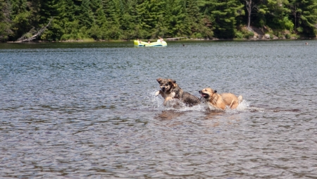 Two dogs chase frisbees in the lake at Algonquin Park Stock Photo