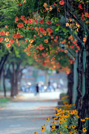 yearning: Campsis grandifloras at Bucheon Central Park in early July, the rainy season