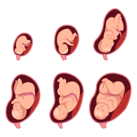 Stages of embryo development in pregnant woman. Vector cartoon illustration isolated on white background.