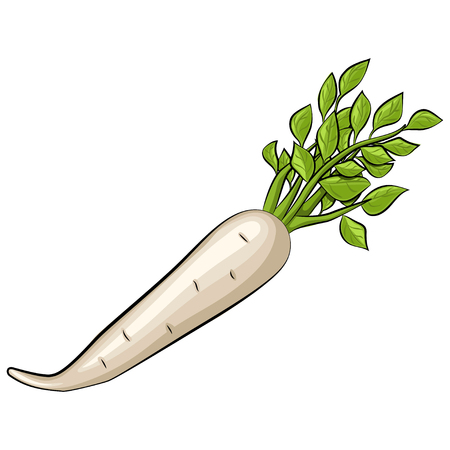 Daikon radish with green leaves vector isolated on white background. Hand drawn cartoon illustration vegetable. Eating healthy and vegan food.