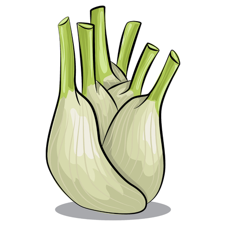 Fennel bulb vector isolated on white background. Hand drawn cartoon illustration vegetable. Eating healthy and vegan food.