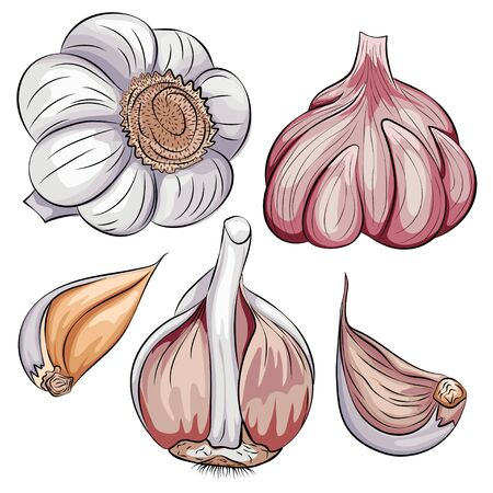 Garlic whole and clove set. Vector cartoon hand drawn vegetable icon isolated on white background.