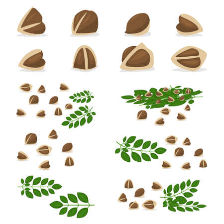Moringa oleifera seeds and branch with leaves set. Vector cartoon illustration of organic food isolated on a white background.
