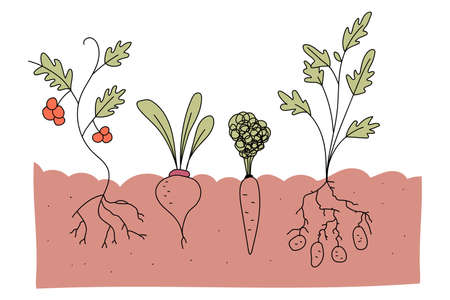 Vegetable plot with tomato, beetroot, carrot and potato vector cartoon illustration isolated on a white background. Vectores