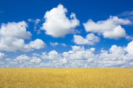 Wheaten field in a sunny day  Stock Photo