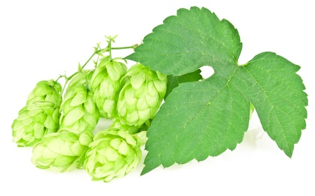 hop cones isolated on white background photo