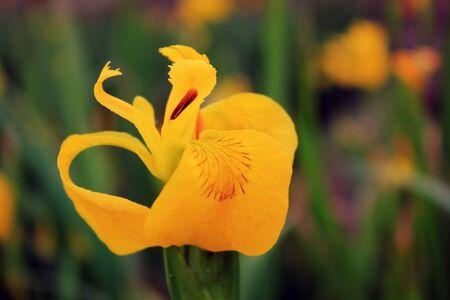 Flora of Galicia, Spain.Iris paleyellow in coastal small river in Finisterre, Costa da Morte Galicia, Spain. Stock Photo