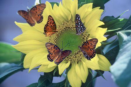 A Sunflower with Several Butterflies