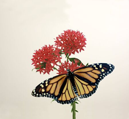 A monarch butterfly on red penta