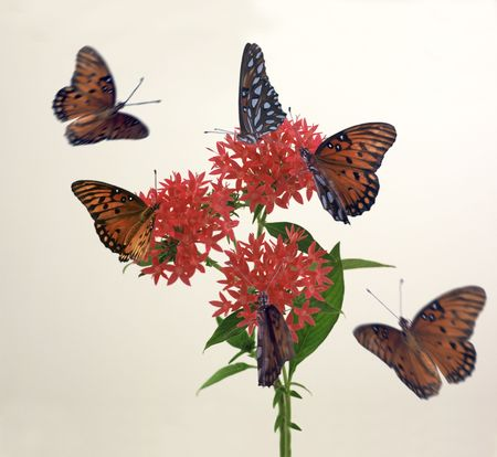 Monarch butterflies around pentas