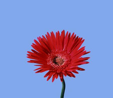 真っ赤な daisyon ブルー mackround 写真素材