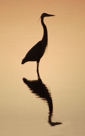 great white heron silhouetted on a golden sky photo