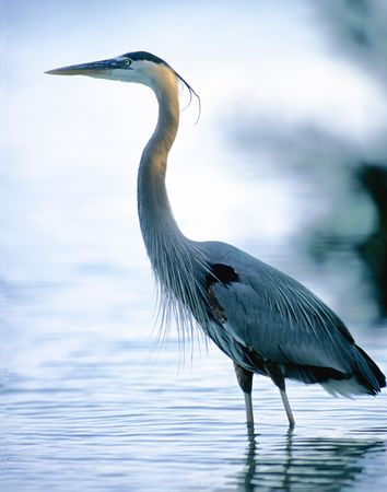 A great blue heron standing tall