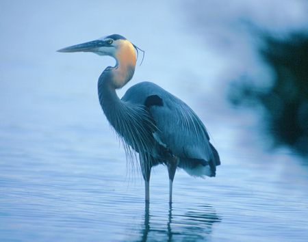 Ständige heronA große blaue Reiher, die in einer pondardea, Vogel, Rohrdommel, blau, groß, herodias, Reiher, Natur, Teich, stehend, wadeing, watend