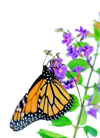 plexippus: A monarch butterfly on a small purple blossom