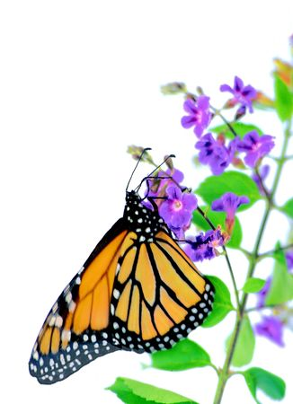 A monarch butterfly on a small purple blossom