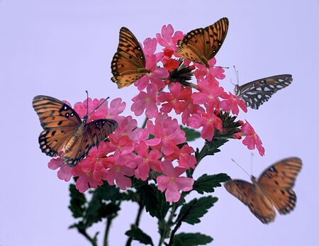 Monarch butterflies on small pink blossoms on a blue backround