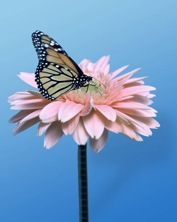 pink daisy with monarch butterfly photo