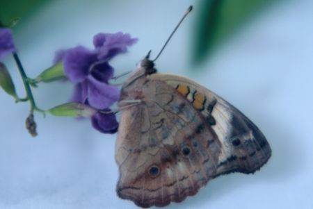 buckeye: buckeye butterfly on a purple flower