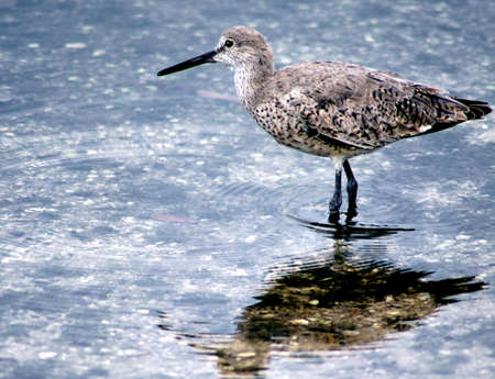 sandpiper wading in pond note