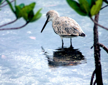 wading: sandpiper wading in pond Stock Photo