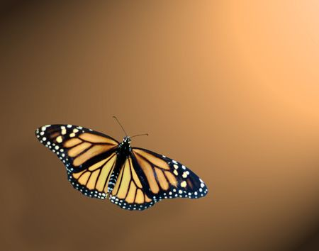 Monarch  butterfly in lower left on tan back round with spot lite frome upper right
