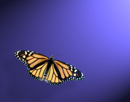 Monarch  butterfly  with spot lite from tthr upper right