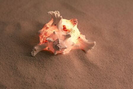 murex shell: ses shell on the sand