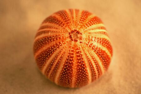 an english sea urchin laying on the sand Imagens