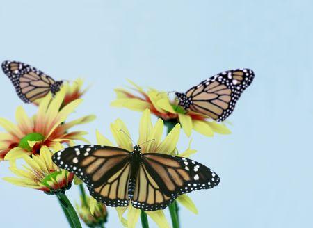 3 monarch butterfly on a daisy yellow Standard-Bild