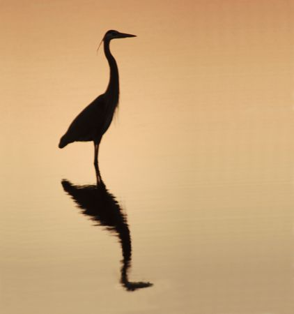 great white heron silouetted on a golden sky photo