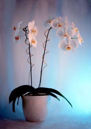蘭の植物の花の 2 つの房を持つ 写真素材