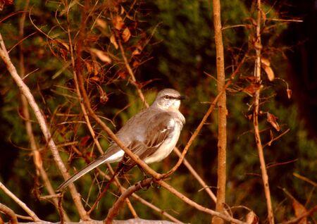 mockingbird: juvenile mockingbird perched on a branch