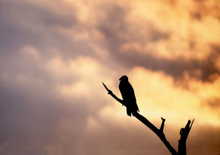 Turkey Vulture silhouetted on the evening sky Standard-Bild